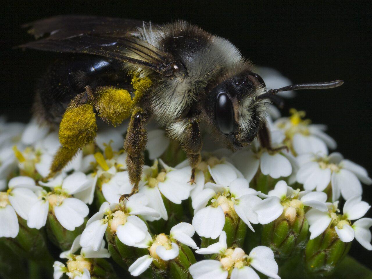 Apidae-0573.jpg