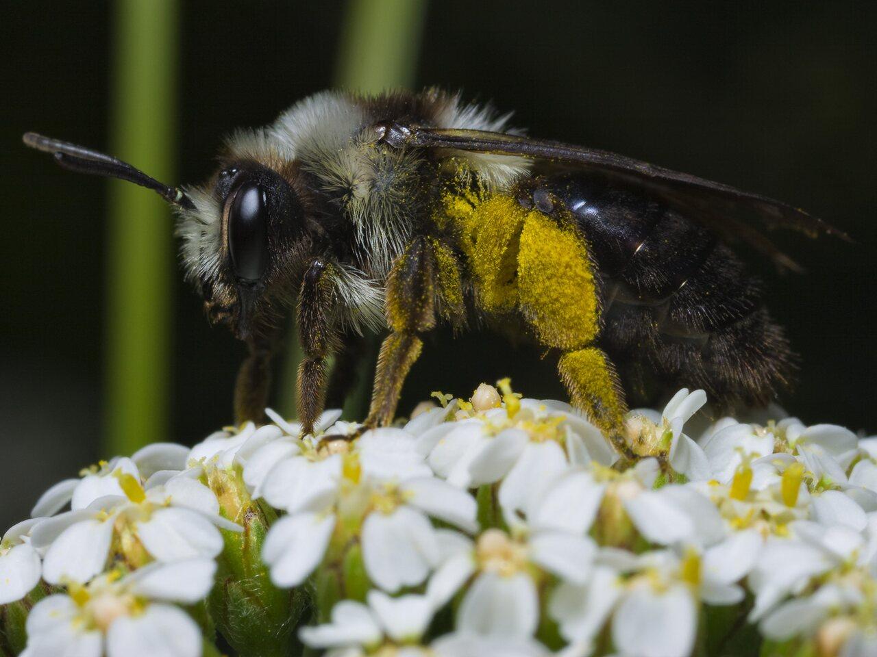 Apidae-0576.jpg