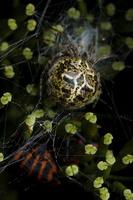Agalenatea redii, female · rudasis rezginuolis ♀