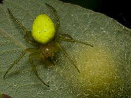 Araniella cucurbitina, female with eggs · raudondėmis voriukas ♀, kiaušinėliai
