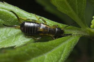 Forficula auricularia, nymph · paprastoji auslinda, nimfa