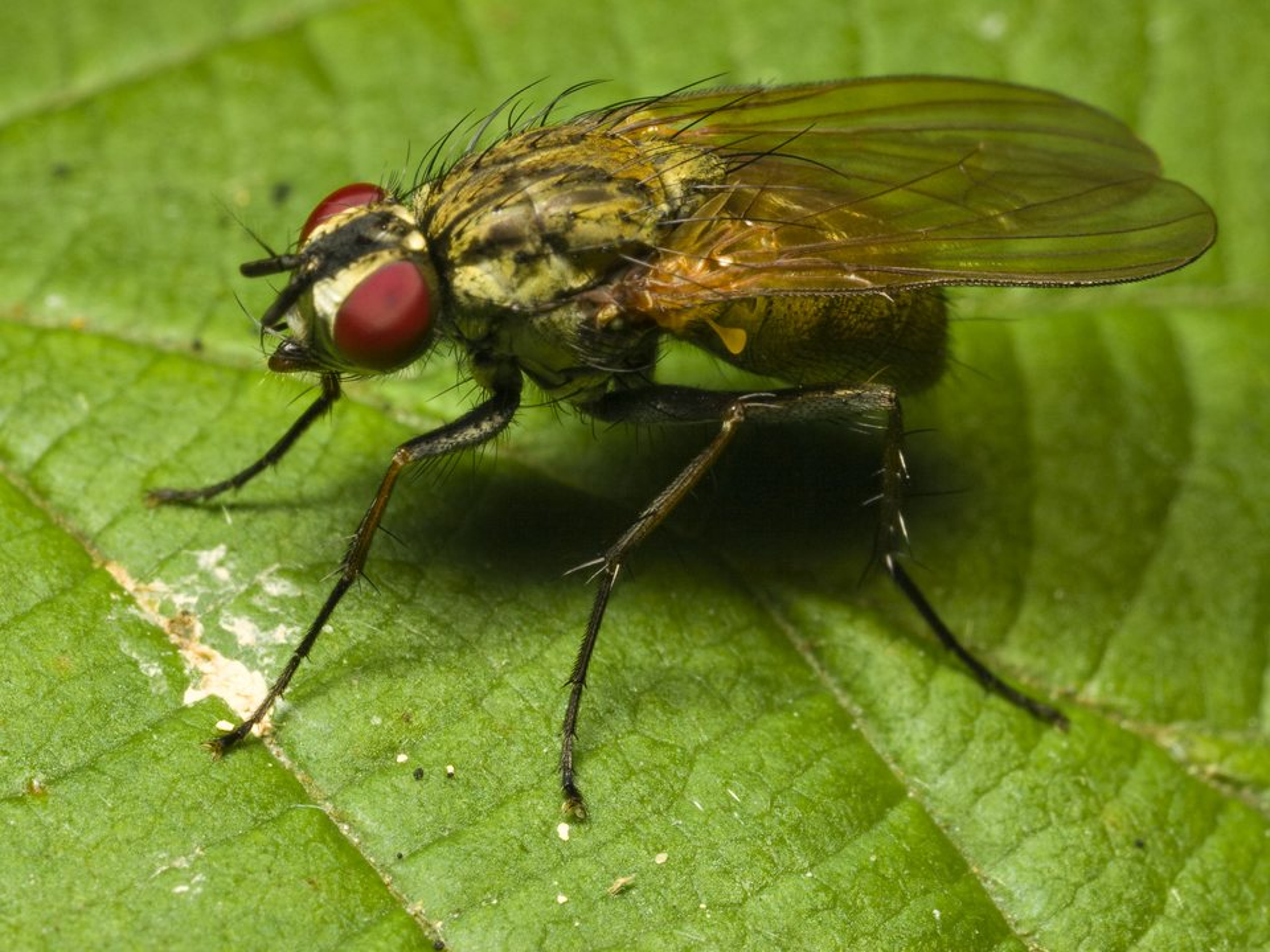 Diptera-0615.jpg