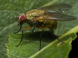 Diptera 0624