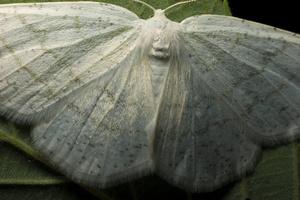 Cabera pusaria female · pilkajuostis balsvasprindis ♀