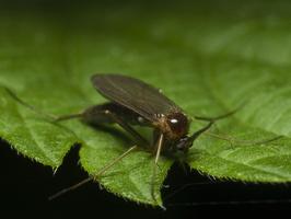 Diptera 0637