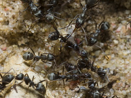 Formicidae · skruzdėlės