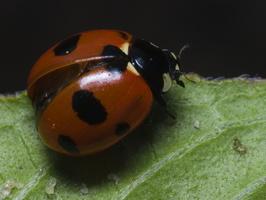 Coccinella septempunctata · septyntaškė boružė