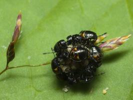 carpocoris fuscispinus nymphs · tamsiaūsė skydblakė, nimfos 0660