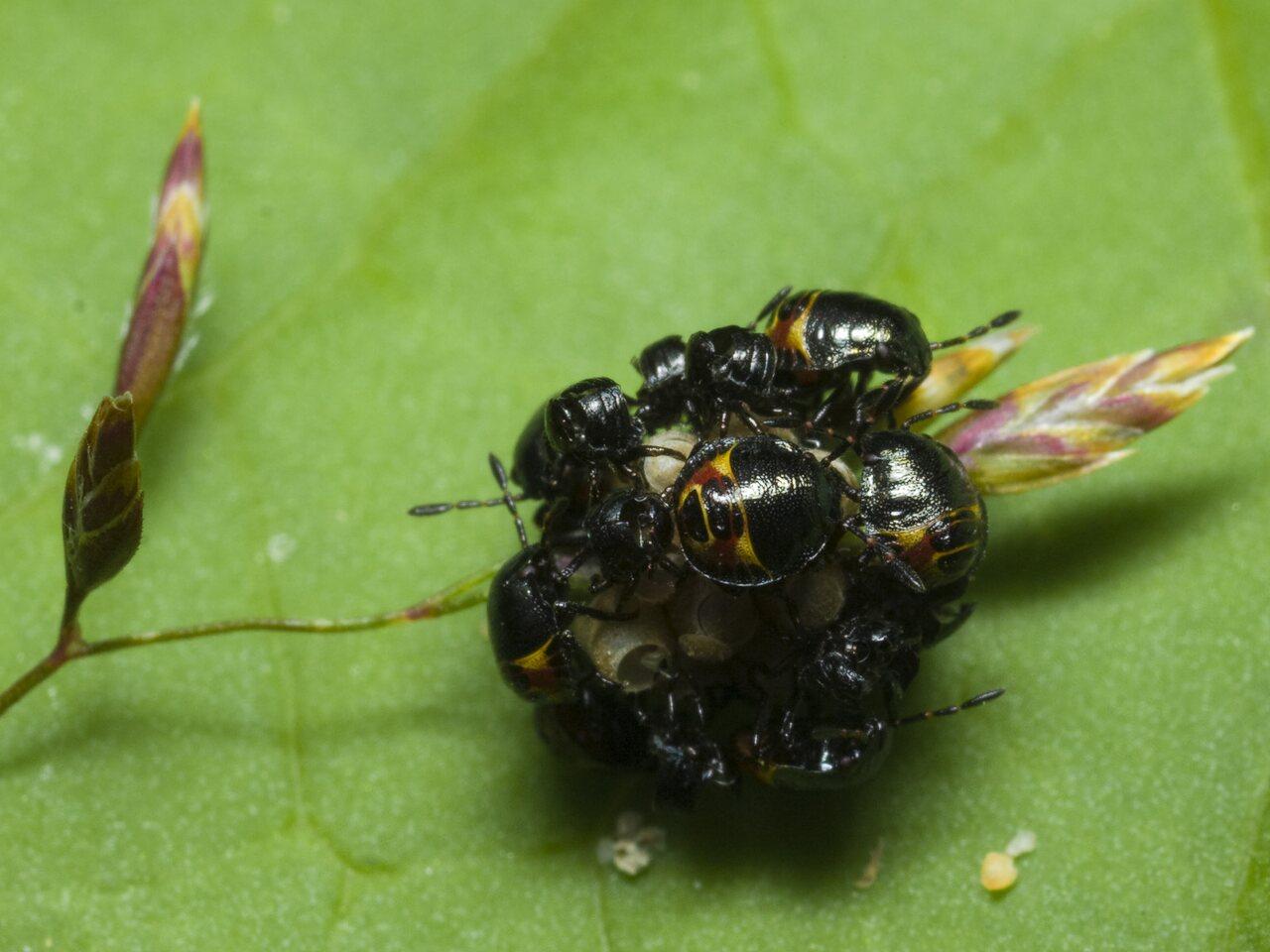 Heteroptera-nymph-0660.jpg