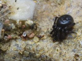 Steatoda albomaculata, female, egg sack · baltadėmis brėžius ♀, kiaušinių kokonas