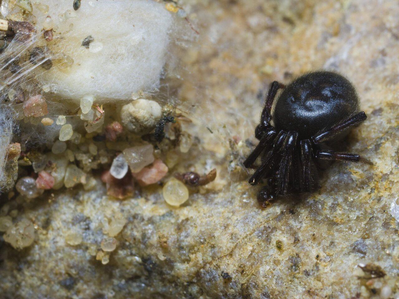 Steatoda-albomaculata-0670.jpg