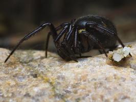 Steatoda albomaculata female · baltadėmis brėžius ♀