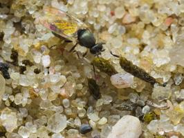 Diptera 0686
