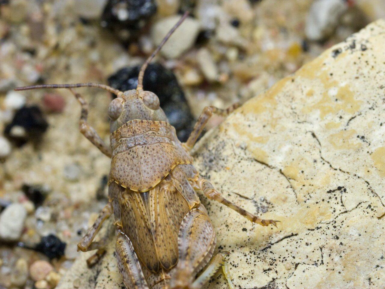 Oedipoda-caerulescens-0713.jpg