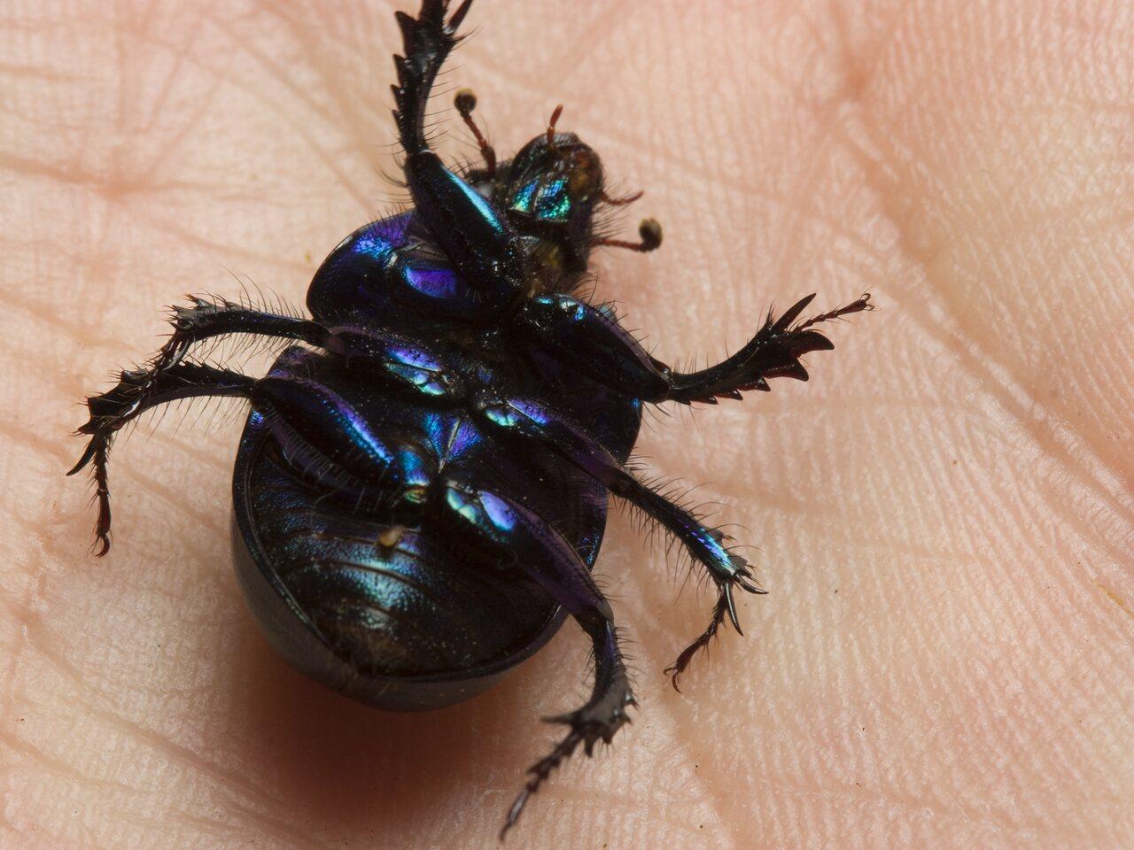 Anoplotrupes-stercorosus-0815.jpg