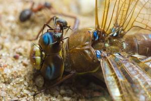 Aeshnidae · tikrieji laumžirgiai