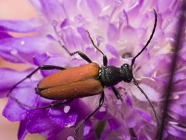 Anastrangalia sanguinolenta female  · purpurinis žieduolis ♀