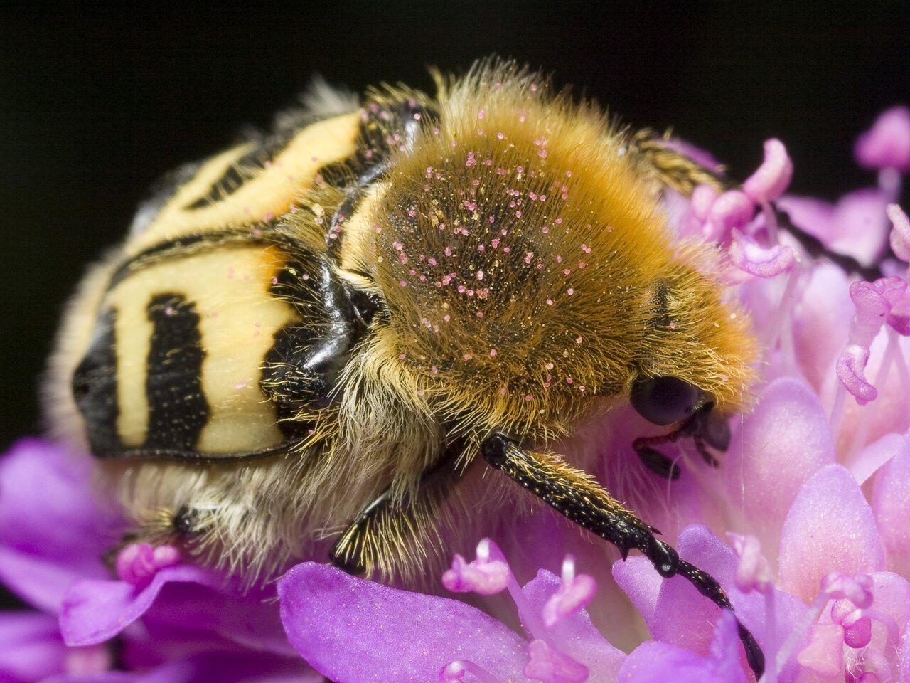 Trichius-fasciatus-0853.jpg