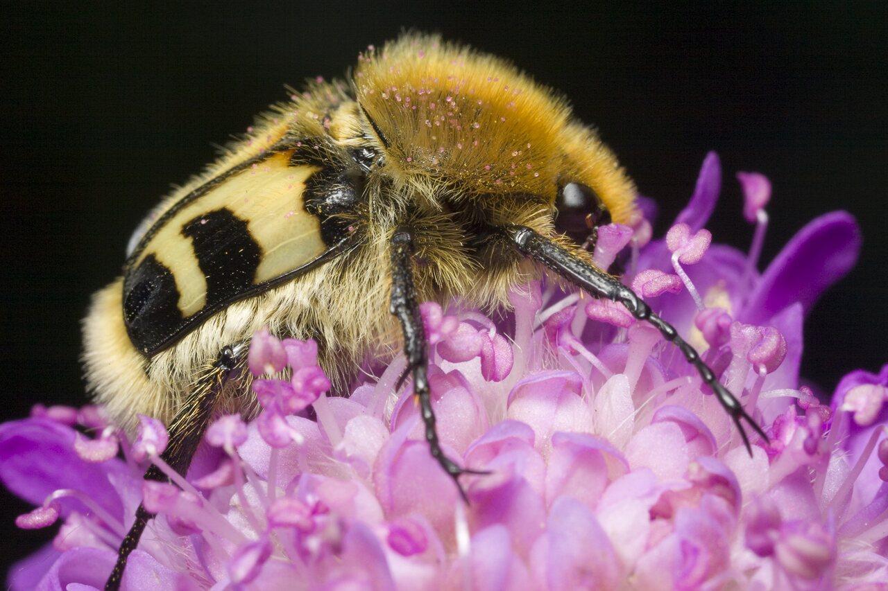 Trichius-fasciatus-0856.jpg