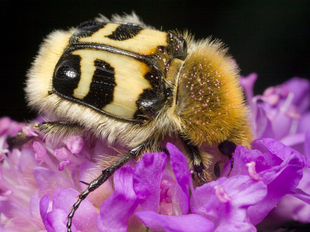 Trichius-fasciatus-0862.jpg