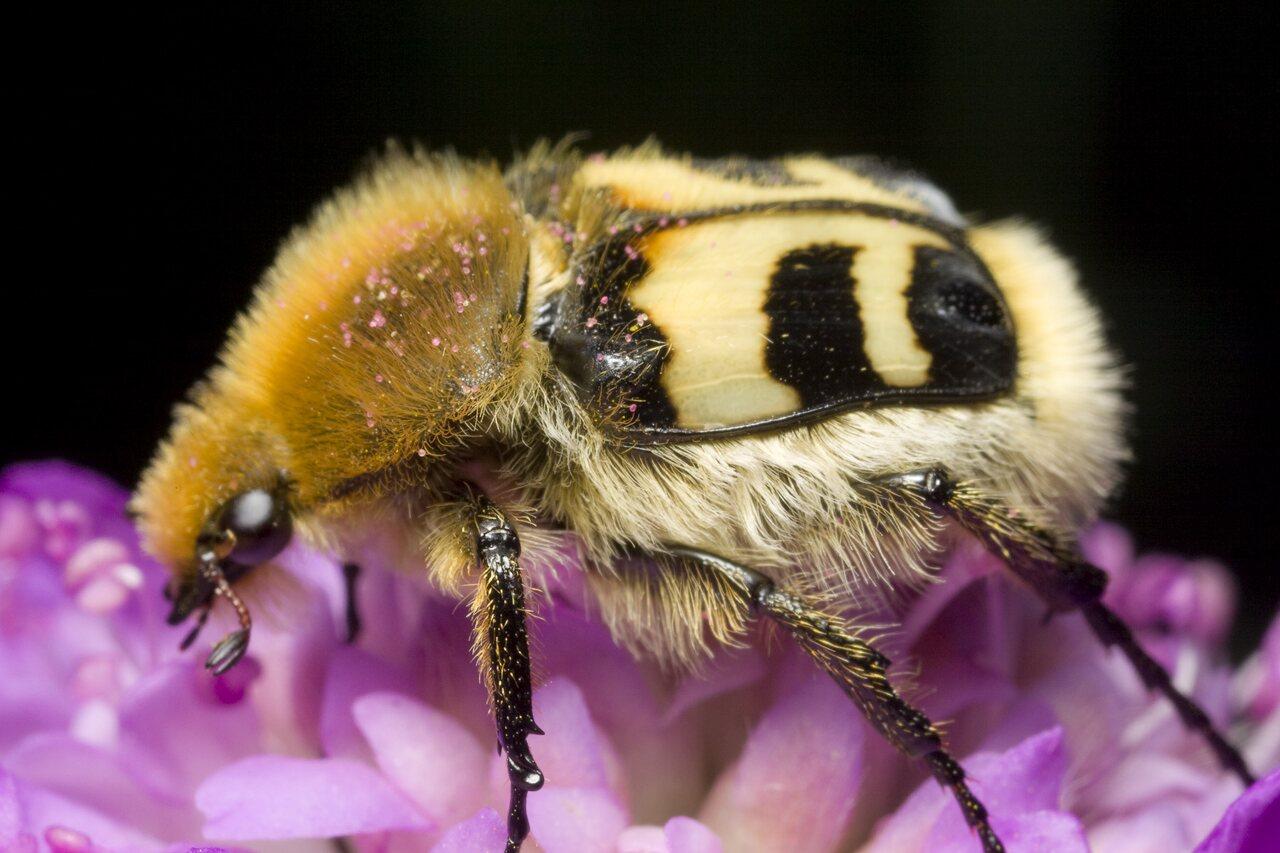 Trichius-fasciatus-0865.jpg