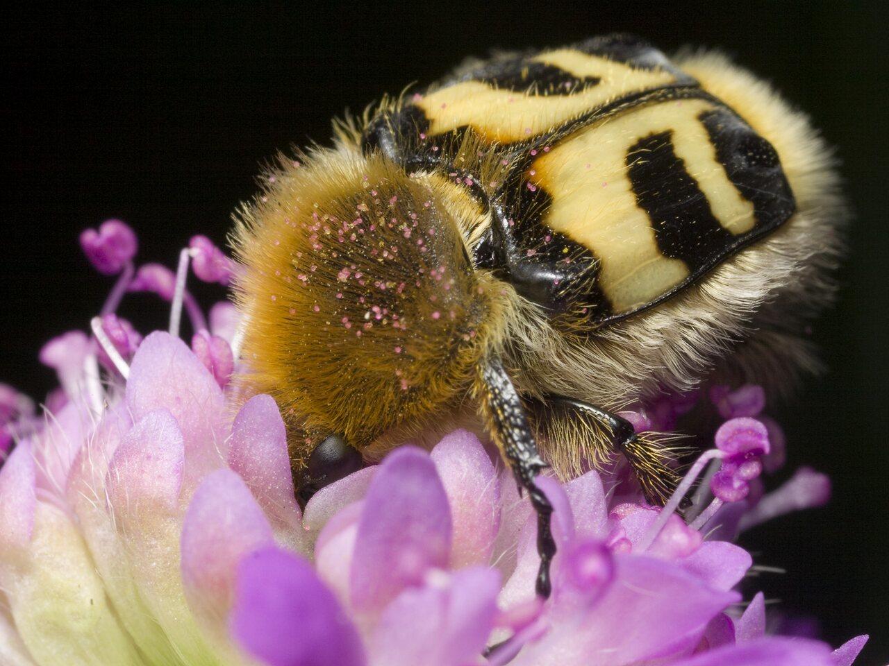 Trichius-fasciatus-0870.jpg