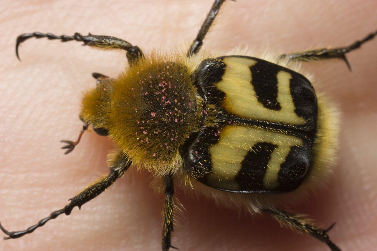 Trichius-fasciatus-0878.jpg