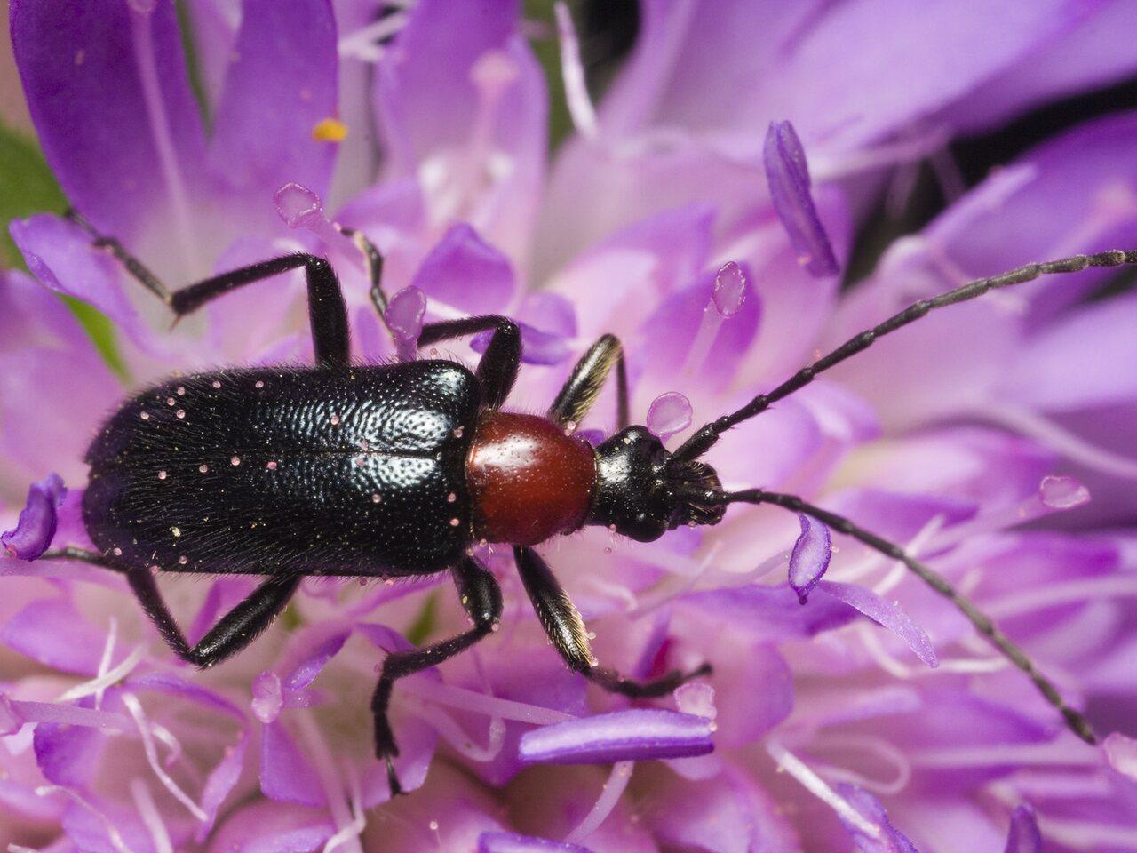 Dinoptera-collaris-0889.jpg