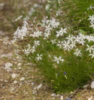 Dianthus arenarius · smiltyninis gvazdikas