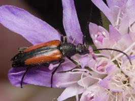 Stenurella melanura female · juodasiūlis grakštenis ♀