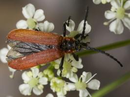 Lygistopterus sanguineus · žiedvabalis