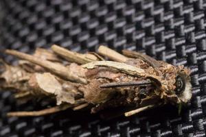 Canephora hirsuta · juodojasis maišuotis, namelis