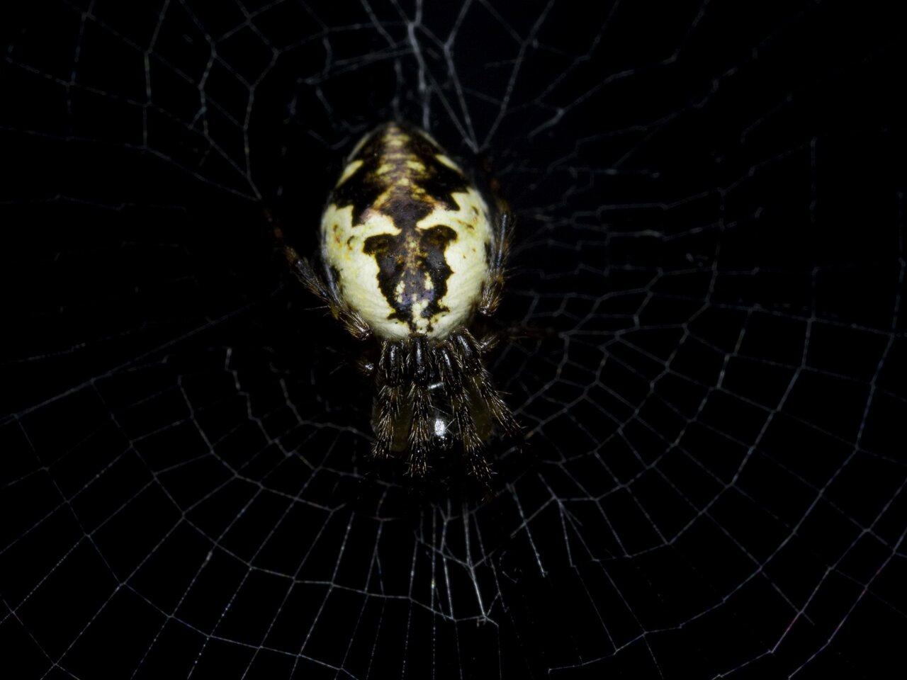 Araneidae-0961.jpg