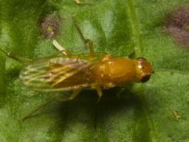 Diptera 0982