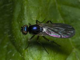 Diptera 0996