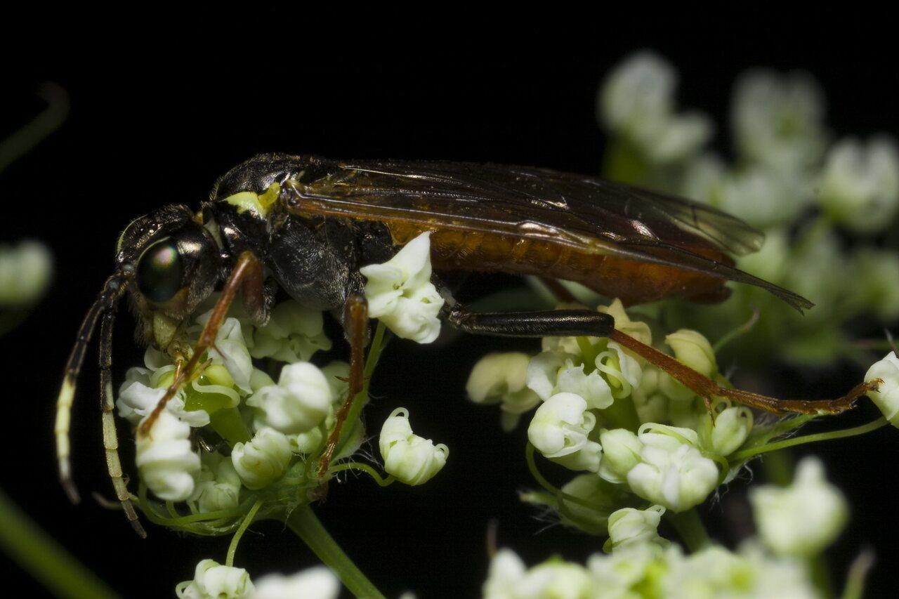 Tenthredo-ferruginea-1004.jpg