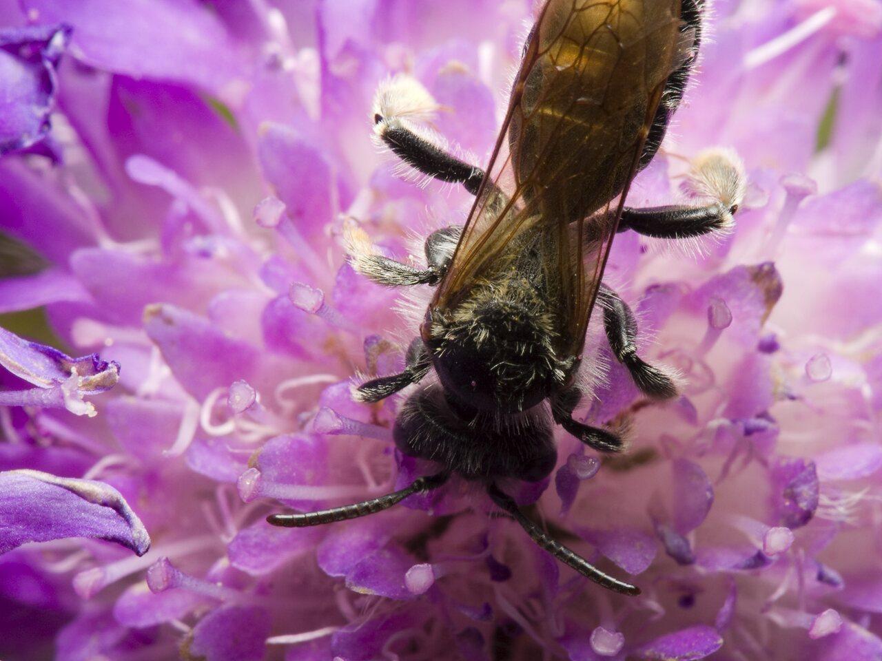 Apidae-1025.jpg