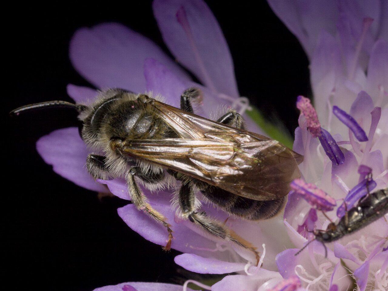 Apidae-1031.jpg