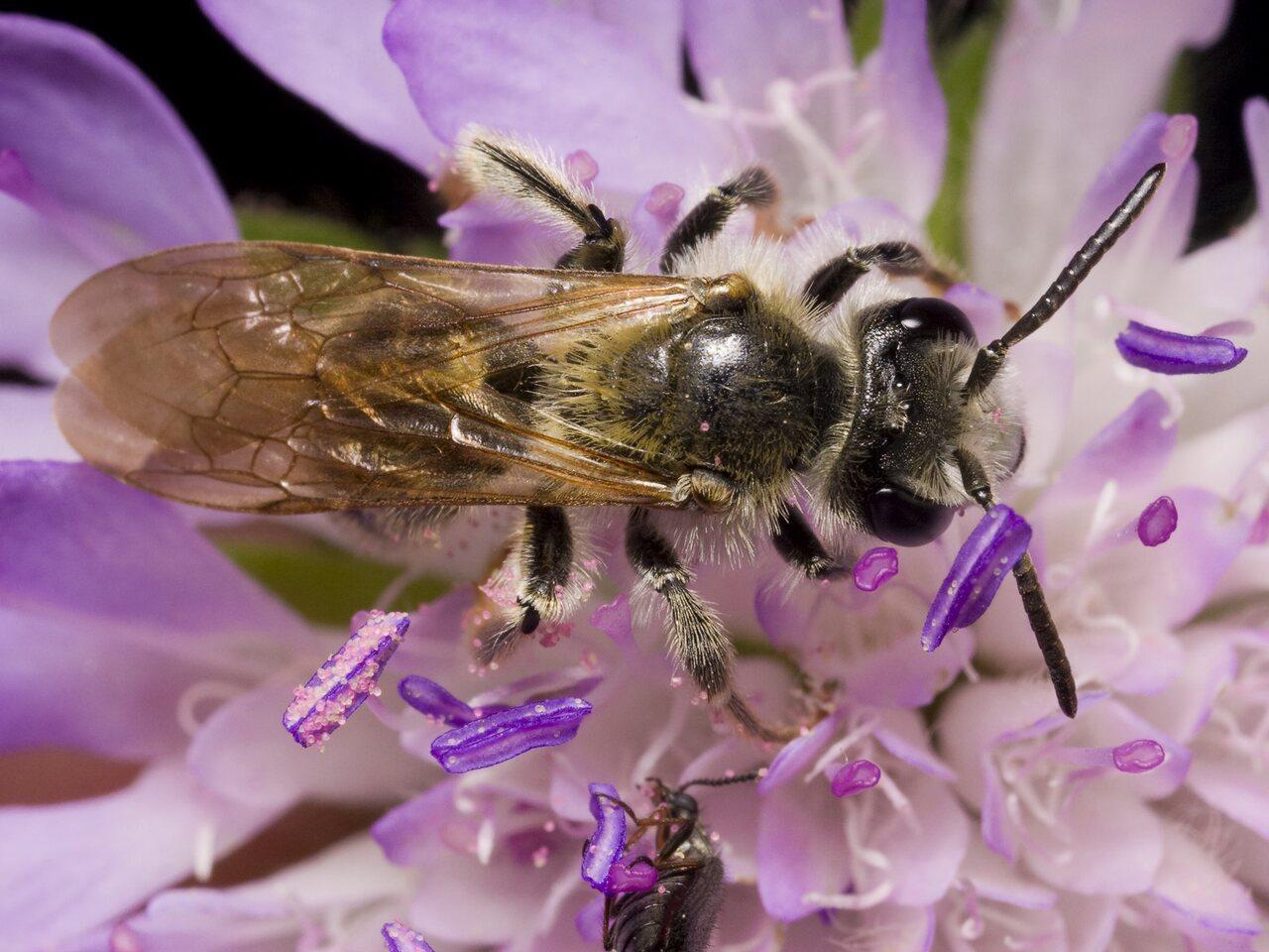 Apidae-1034.jpg