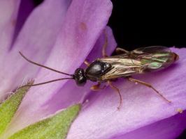 Hymenoptera 1041