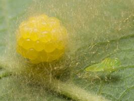 Araniella cucurbitina, eggs · raudondėmis voriukas, kiaušinėliai