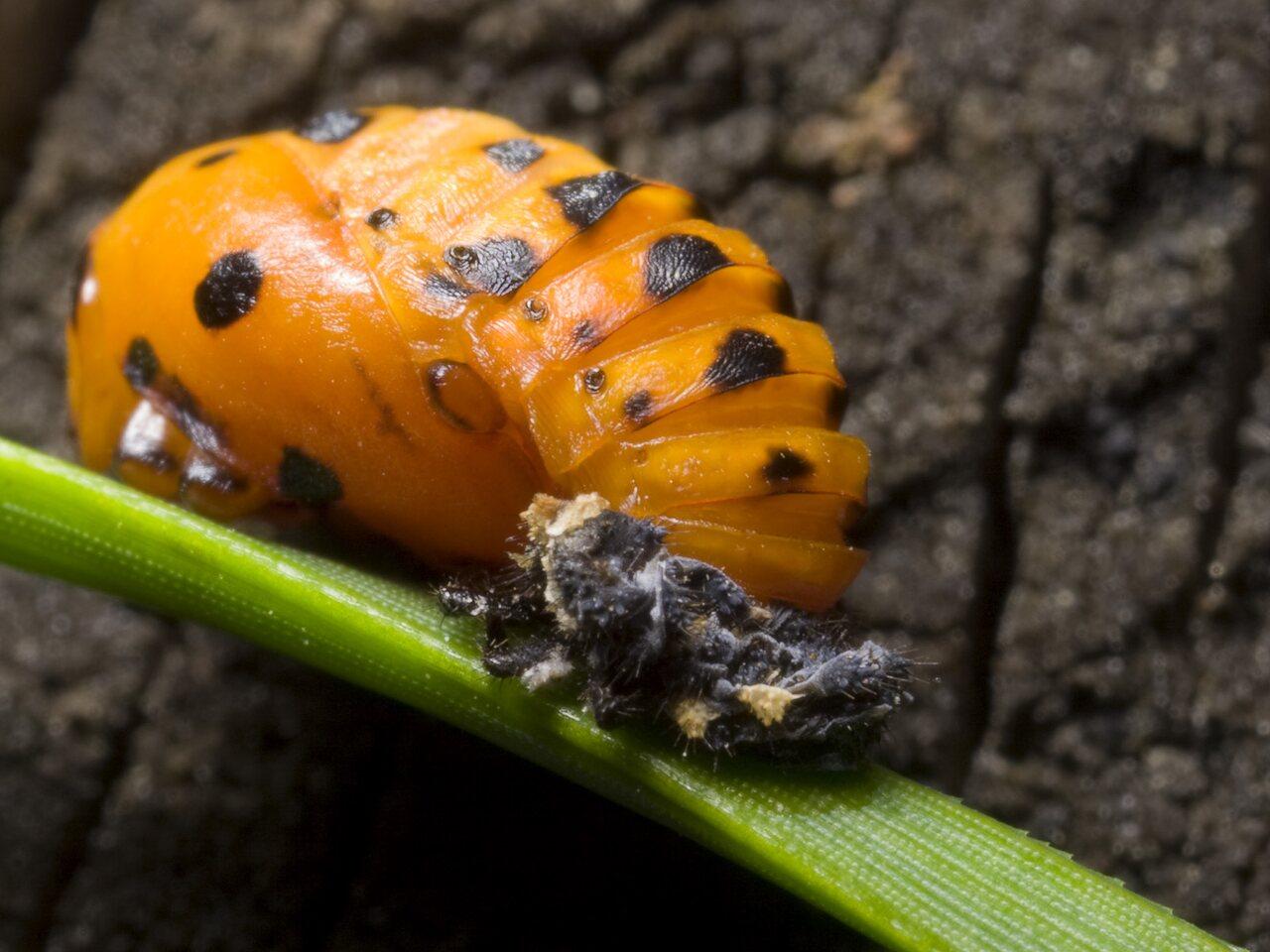 Coccinella-septempunctata-1089.jpg