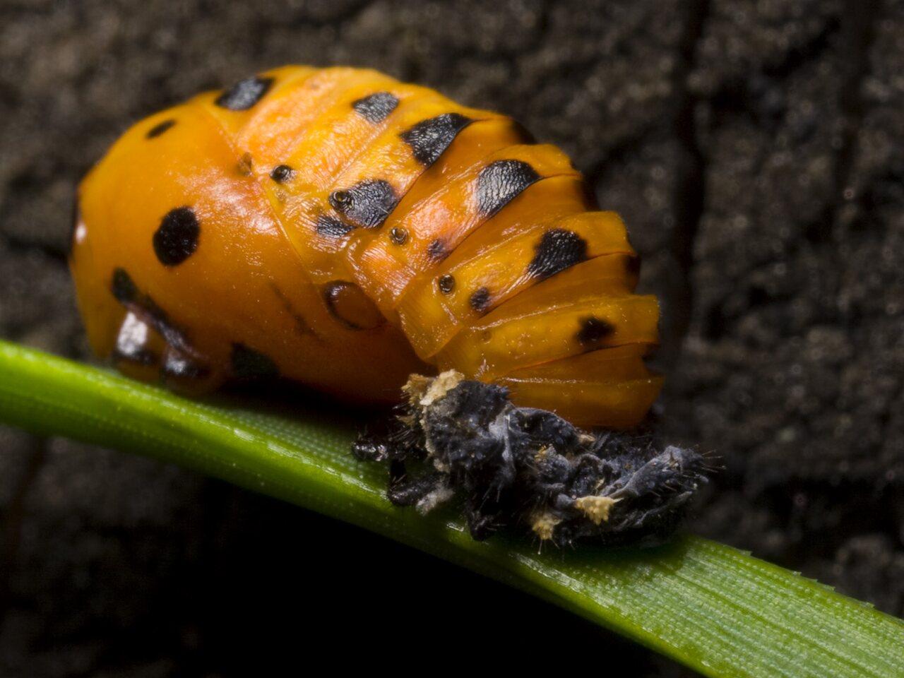 Coccinella-septempunctata-1090.jpg
