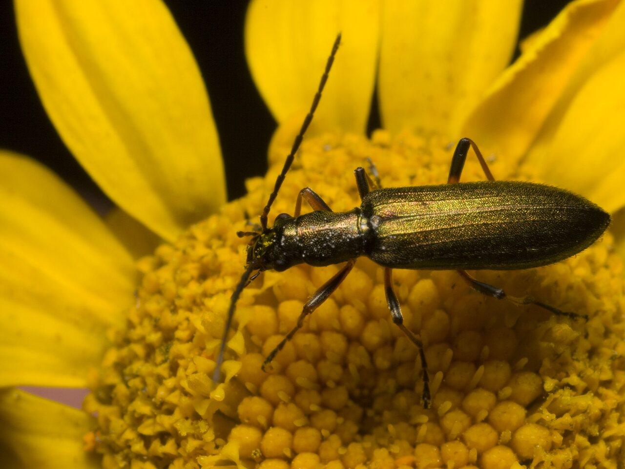 Chrysanthia-nigricornis-1104.jpg