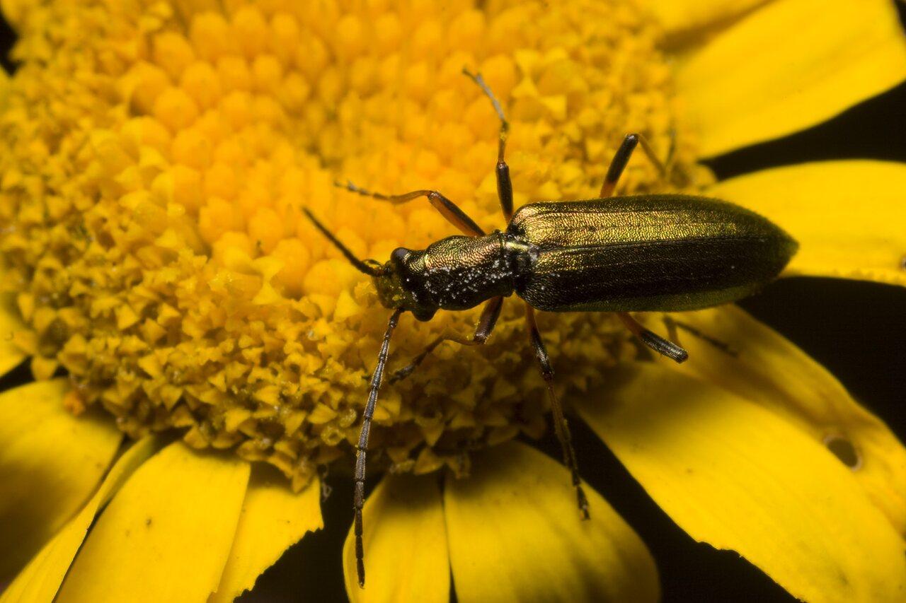 Chrysanthia-nigricornis-1105.jpg