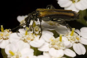 Oedemera femorata · laibavabalis
