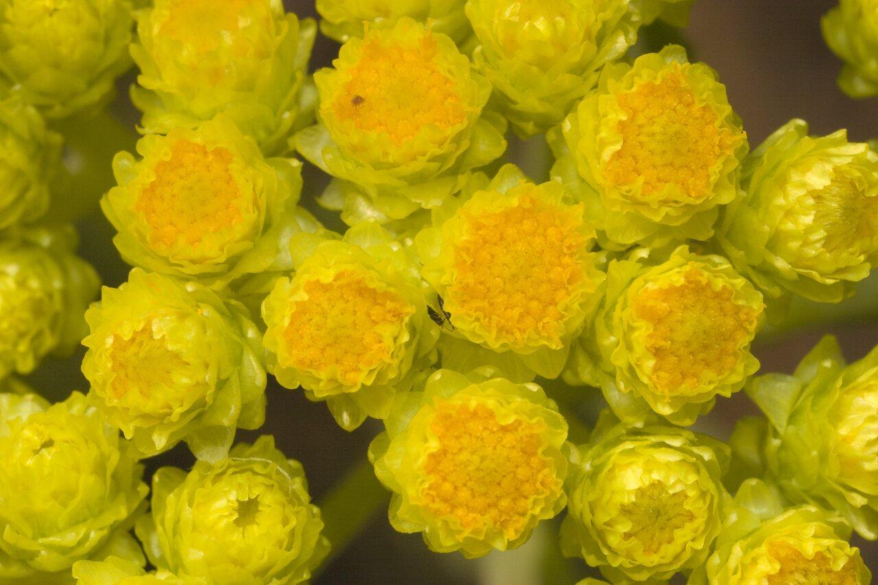 Helichrysum-arenarium-1127.jpg