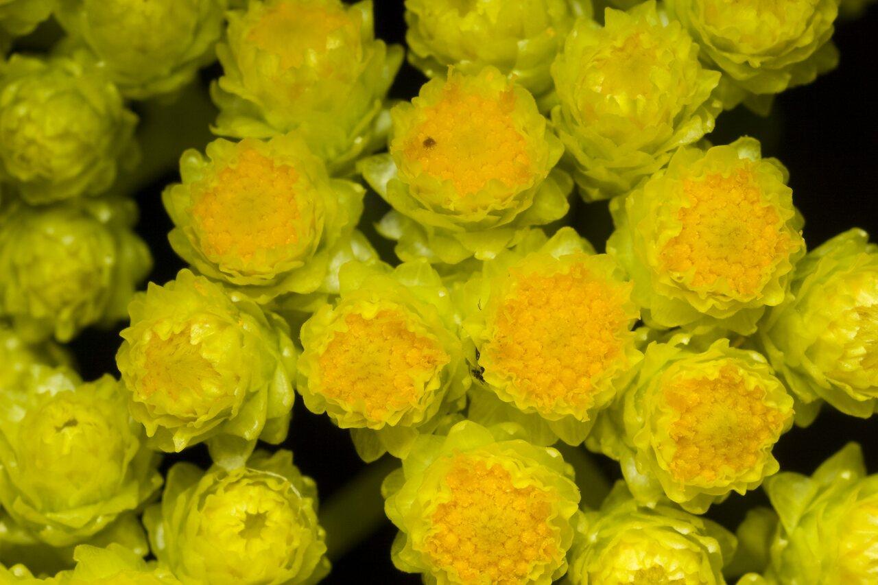 Helichrysum-arenarium-1130.jpg