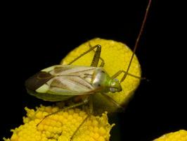 Adelphocoris lineolatus · liucerninė žolblakė