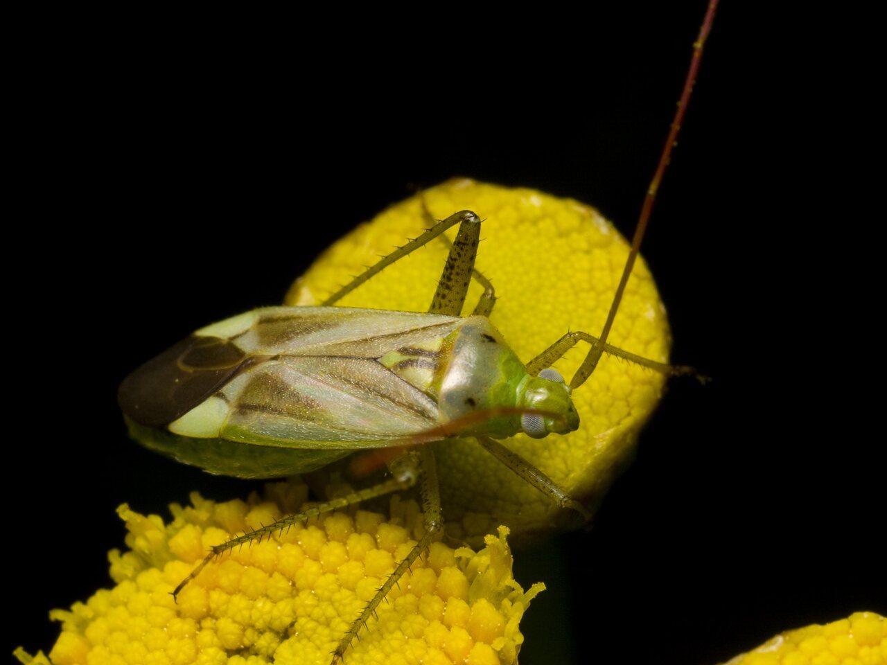 Adelphocoris-lineolatus-1132.jpg